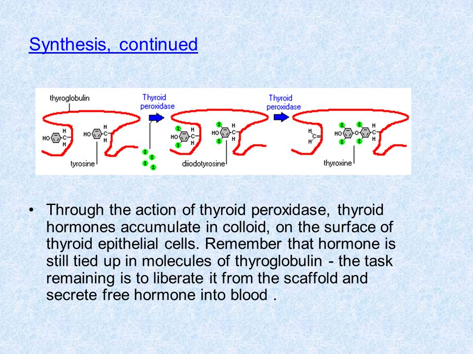 Release of thyroid hormones Thyroid hormones are excised from their thyroglobulin scaffold by digestion in lysosomes of thyroid epithelial cells.