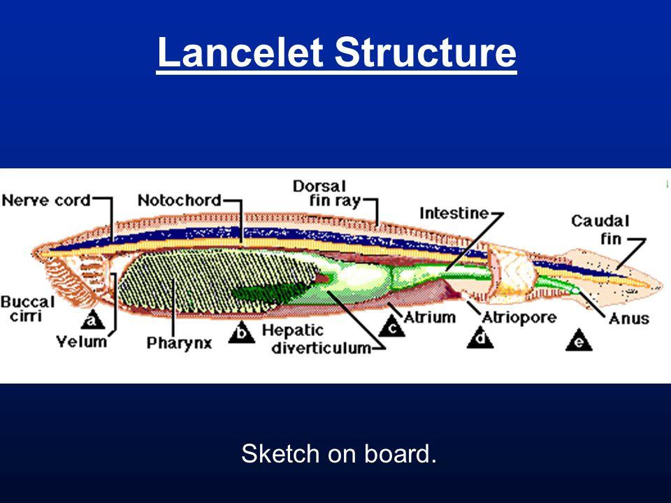 Lancelet Structure Sketch on board.