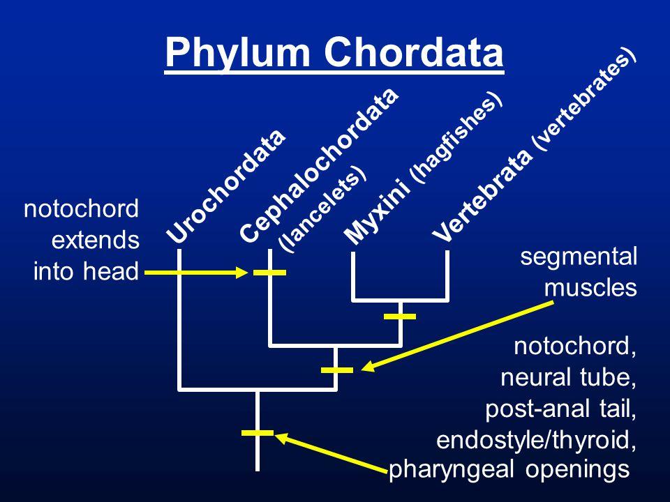 Phylum Chordata Urochordata Cephalochordata (lancelets) Vertebrata (vertebrates) pharyngeal openings notochord, neural tube, post-anal tail, endostyle/thyroid, Myxini (hagfishes) notochord extends into head segmental muscles