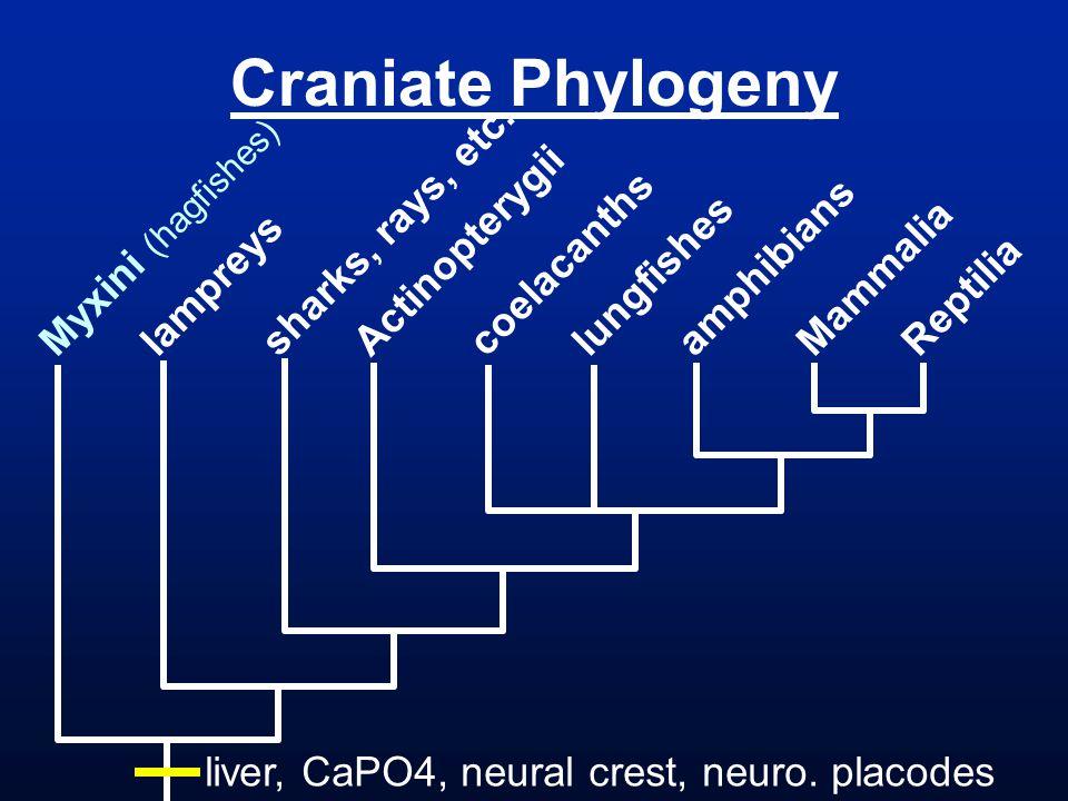 Craniate Phylogeny Myxini (hagfishes) lampreys sharks, rays, etc.