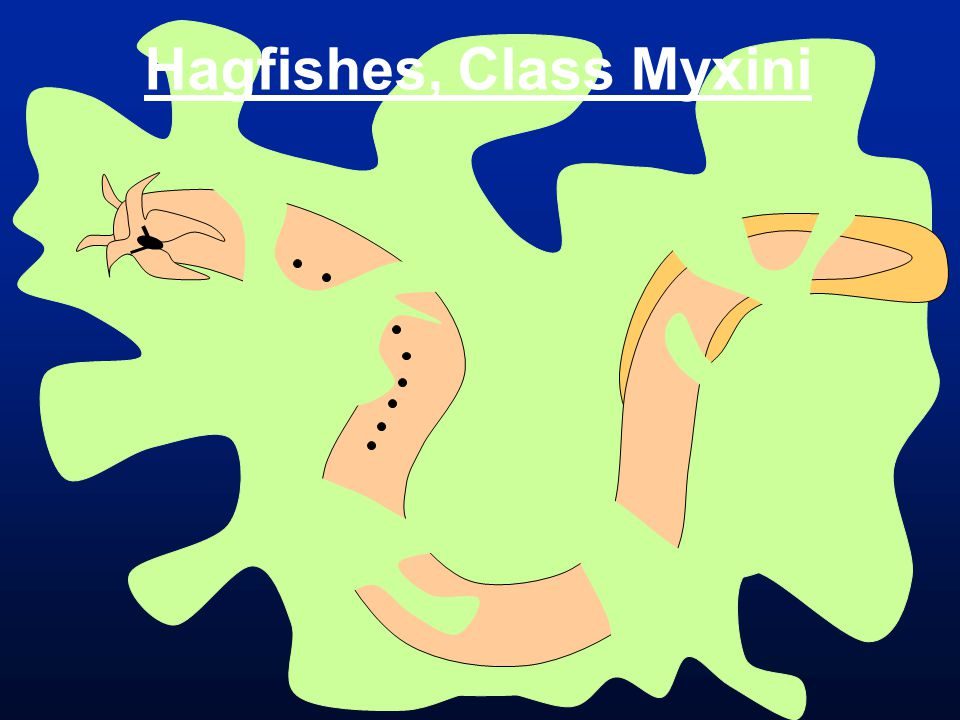 Hagfishes, Class Myxini