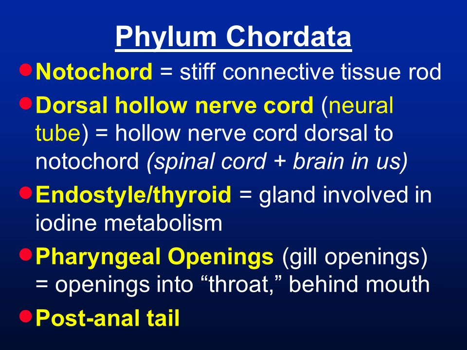 Phylum Chordata  Notochord = stiff connective tissue rod  Dorsal hollow nerve cord (neural tube) = hollow nerve cord dorsal to notochord (spinal cord + brain in us)  Endostyle/thyroid = gland involved in iodine metabolism  Pharyngeal Openings (gill openings) = openings into throat, behind mouth  Post-anal tail