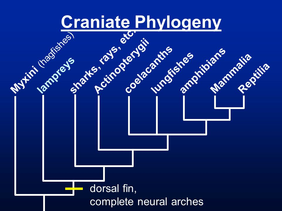 Craniate Phylogeny Myxini (hagfishes) lampreys sharks, rays, etc. Actinopterygii coelacanths lungfishes amphibians Mammalia Reptilia dorsal fin, compl
