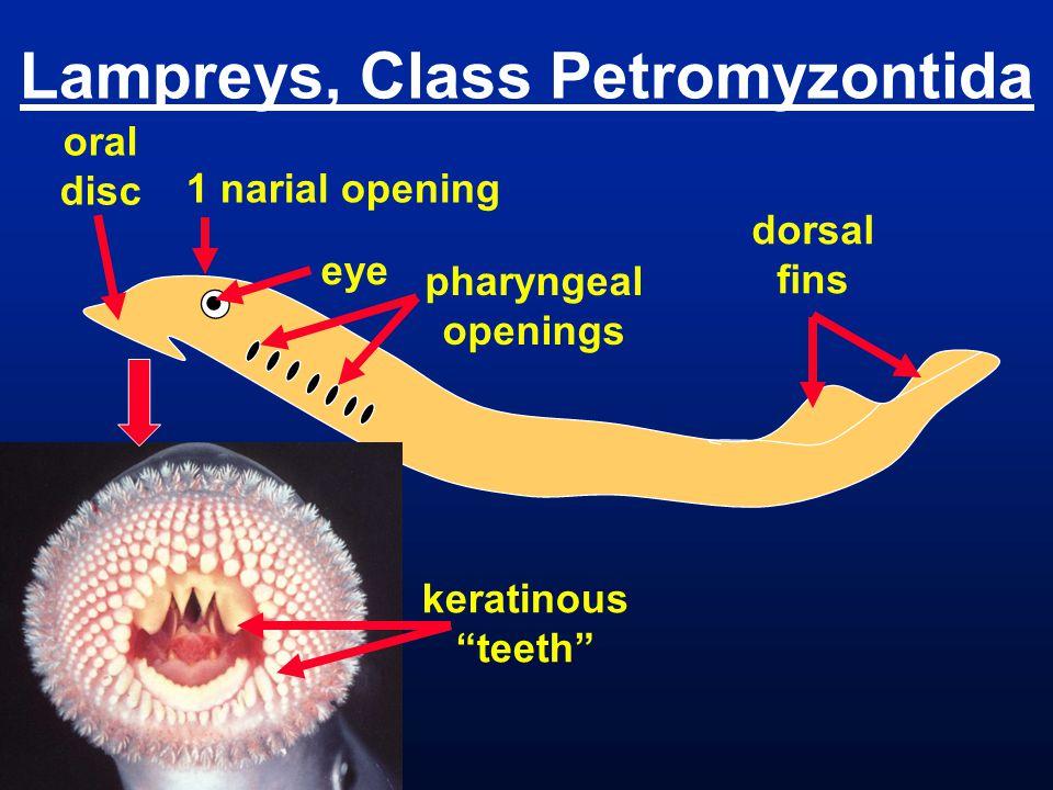 Lampreys, Class Petromyzontida pharyngeal openings eye oral disc dorsal fins 1 narial opening keratinous teeth