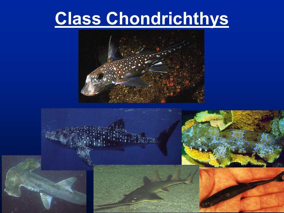 Class Chondrichthys