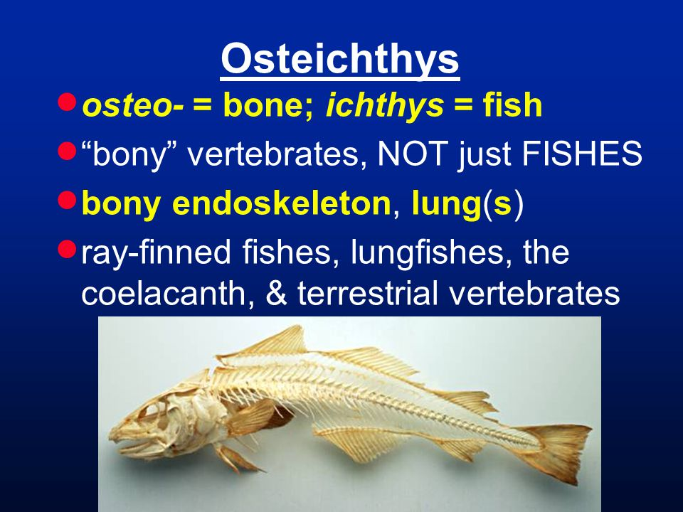 Osteichthys  osteo- = bone; ichthys = fish  bony vertebrates, NOT just FISHES  bony endoskeleton, lung(s)  ray-finned fishes, lungfishes, the coelacanth, & terrestrial vertebrates