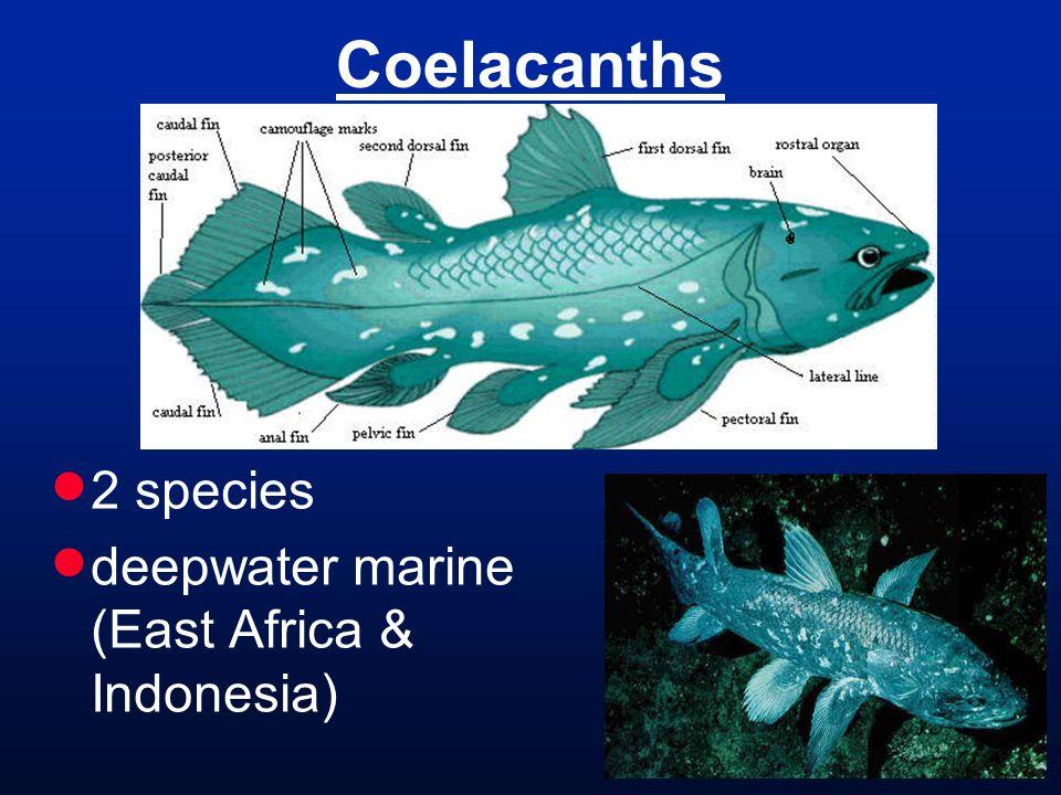 Coelacanths  2 species  deepwater marine (East Africa & Indonesia)