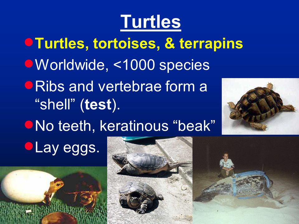 Turtles  Turtles, tortoises, & terrapins  Worldwide, <1000 species  Ribs and vertebrae form a shell (test).