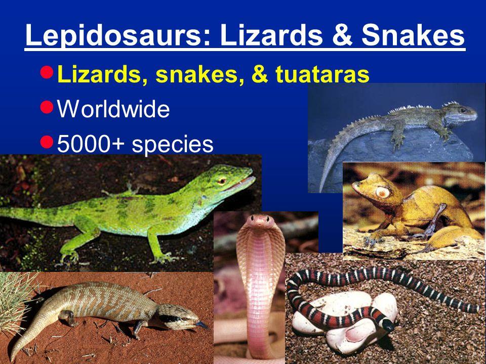 Lepidosaurs: Lizards & Snakes  Lizards, snakes, & tuataras  Worldwide  5000+ species