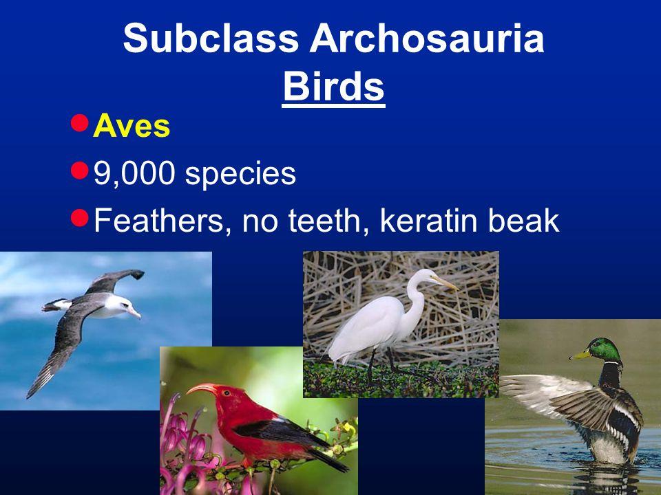 Subclass Archosauria Birds  Aves  9,000 species  Feathers, no teeth, keratin beak