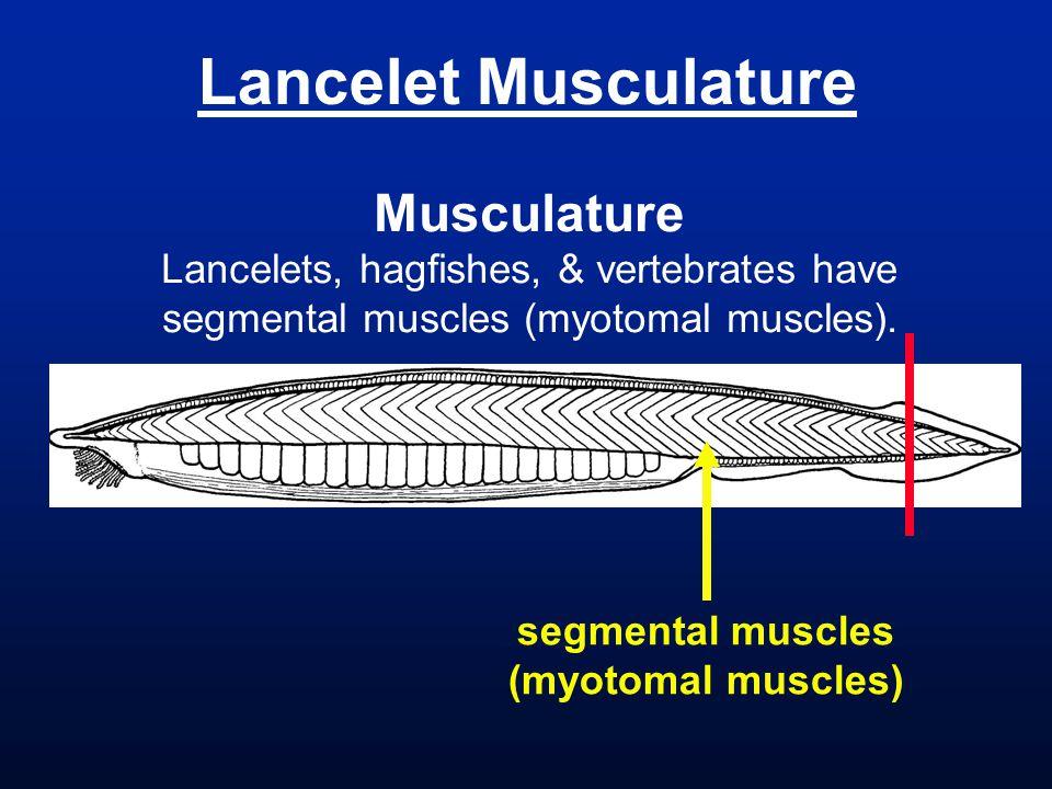 Lancelet Musculature Musculature Lancelets, hagfishes, & vertebrates have segmental muscles (myotomal muscles).