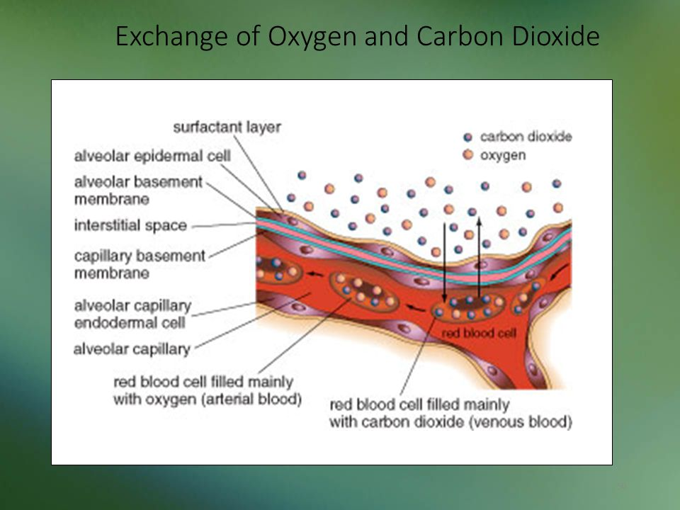 Exchange of Oxygen and Carbon Dioxide 50