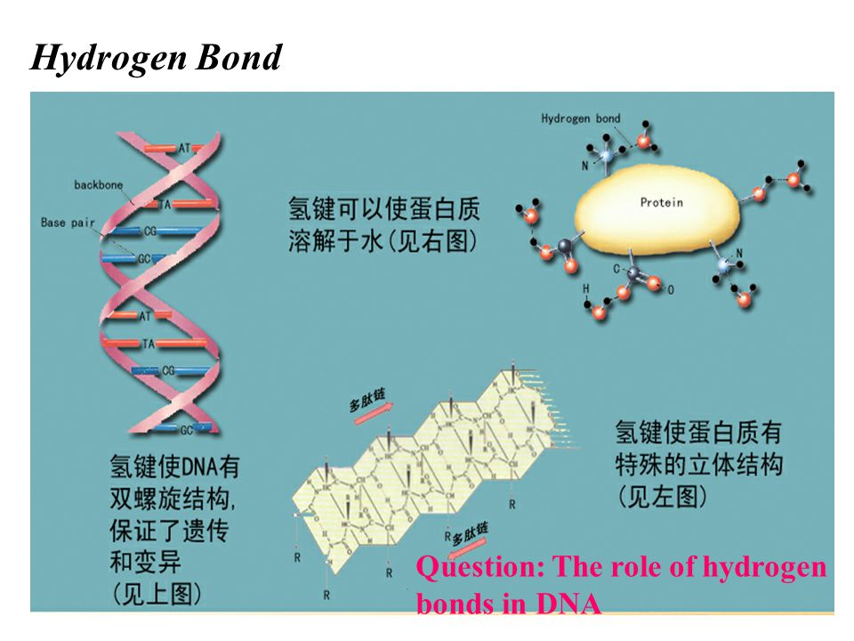 Hydrogen Bond Question: The role of hydrogen bonds in DNA