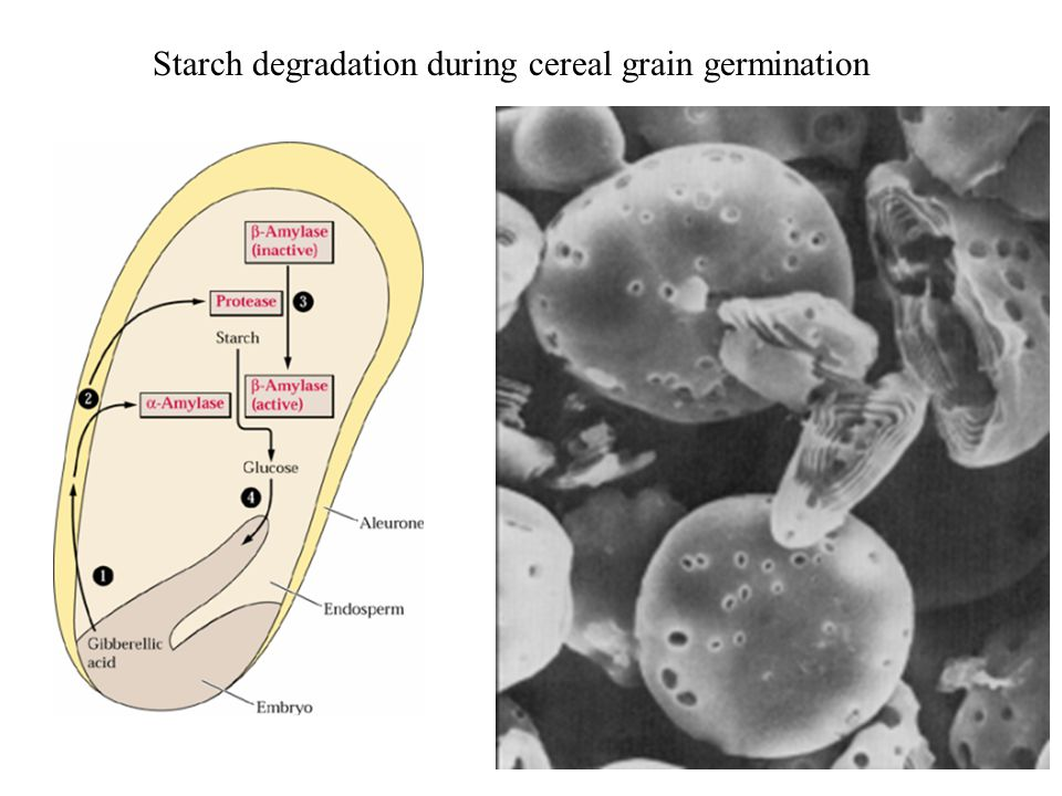 Starch degradation during cereal grain germination