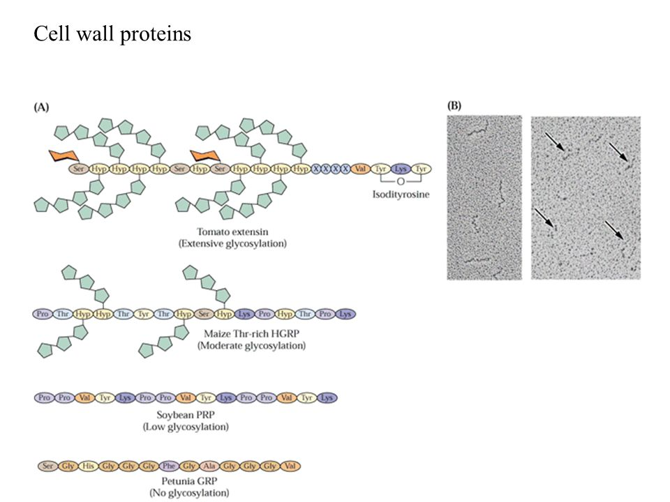 Cell wall proteins
