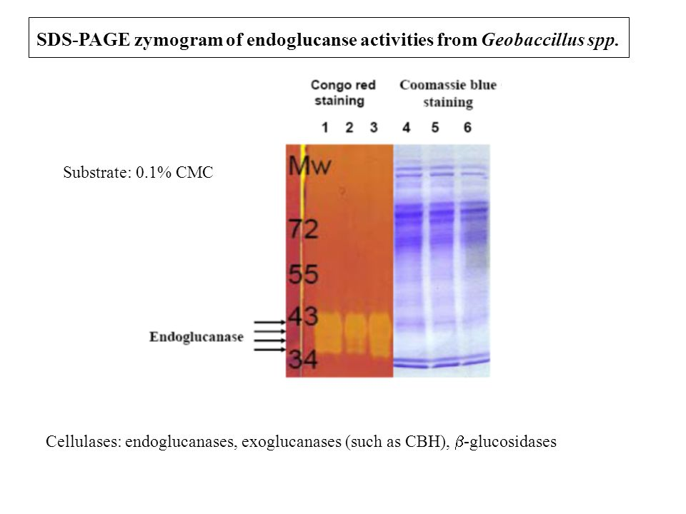 SDS-PAGE zymogram of endoglucanse activities from Geobaccillus spp. Substrate: 0.1% CMC Cellulases: endoglucanases, exoglucanases (such as CBH),  -gl
