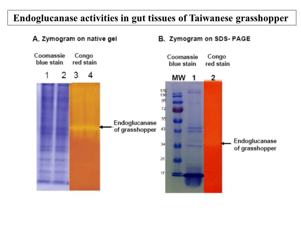Endoglucanase activities in gut tissues of Taiwanese grasshopper