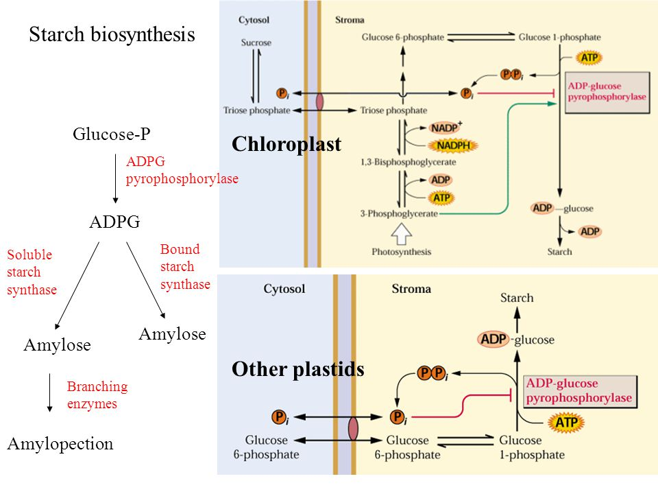 Glucose-P ADPG Amylose Amylopection Starch biosynthesis ADPG pyrophosphorylase Branching enzymes Soluble starch synthase Bound starch synthase Chloroplast Other plastids