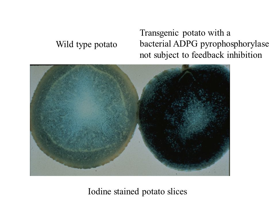 Wild type potato Transgenic potato with a bacterial ADPG pyrophosphorylase not subject to feedback inhibition Iodine stained potato slices