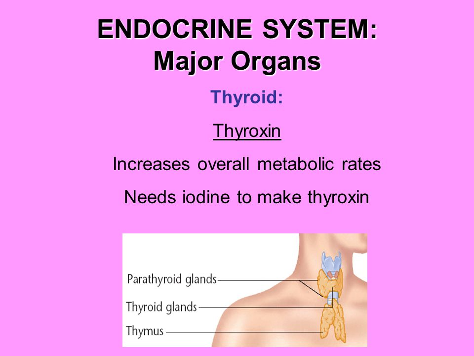ENDOCRINE SYSTEM: Major Organs Thyroid: Thyroxin Increases overall metabolic rates Needs iodine to make thyroxin