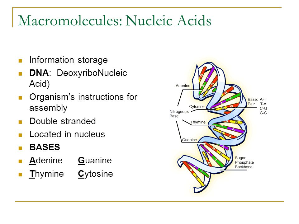 Macromolecules: Nucleic Acids Information storage DNA: DeoxyriboNucleic Acid) Organism's instructions for assembly Double stranded Located in nucleus