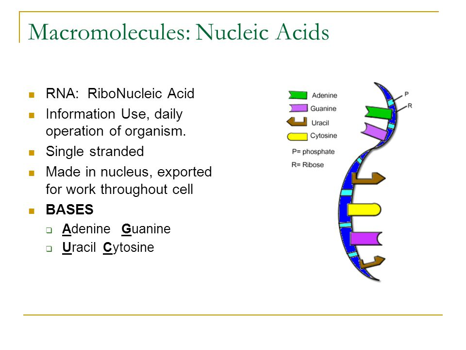 Macromolecules: Nucleic Acids RNA: RiboNucleic Acid Information Use, daily operation of organism.