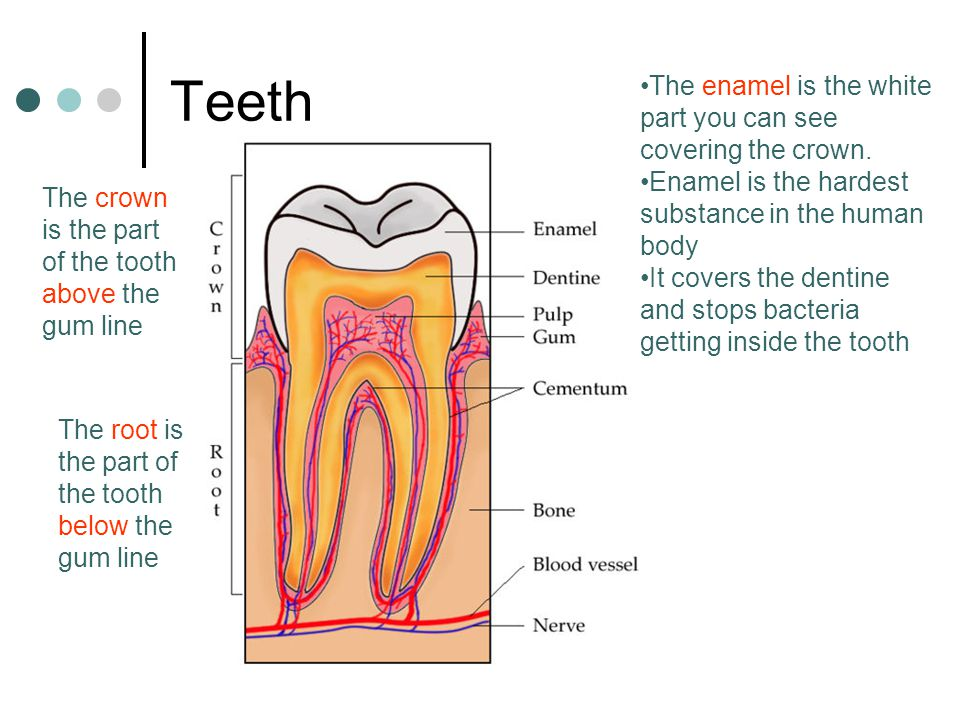 Teeth The crown is the part of the tooth above the gum line The root is the part of the tooth below the gum line The enamel is the white part you can