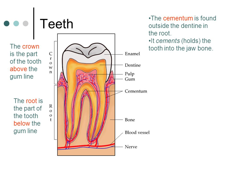 Teeth The crown is the part of the tooth above the gum line The root is the part of the tooth below the gum line The cementum is found outside the den