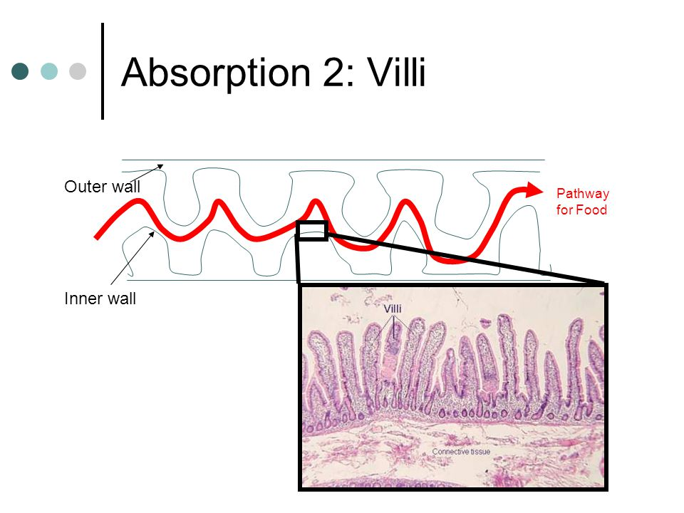 Absorption 2: Villi Outer wall Inner wall Pathway for Food