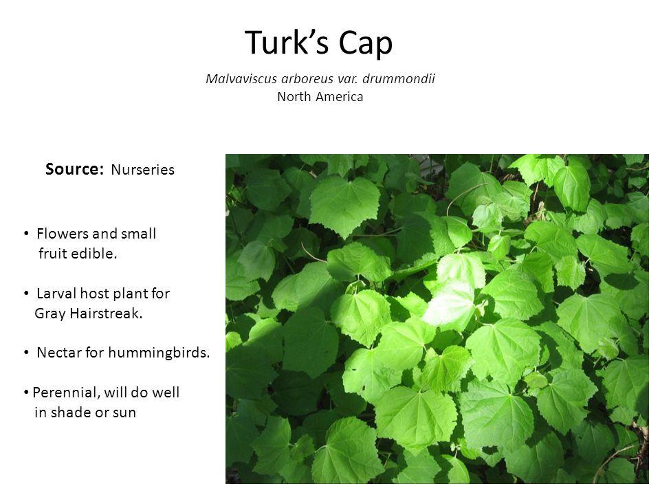Turk's Cap Malvaviscus arboreus var. drummondii North America Flowers and small fruit edible.