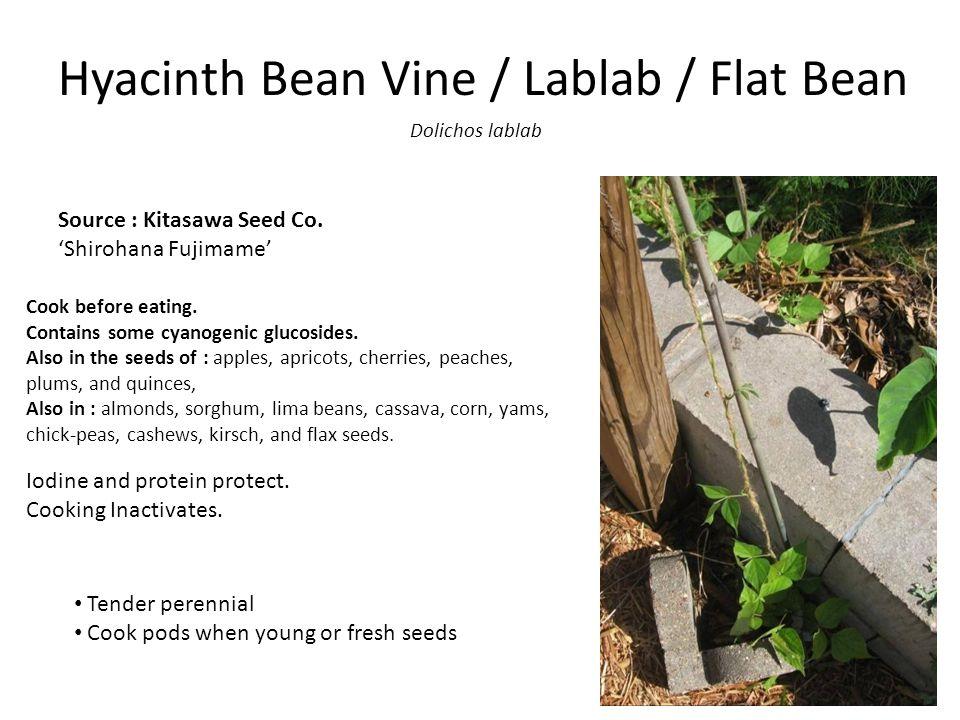 Hyacinth Bean Vine / Lablab / Flat Bean Dolichos lablab Source : Kitasawa Seed Co.