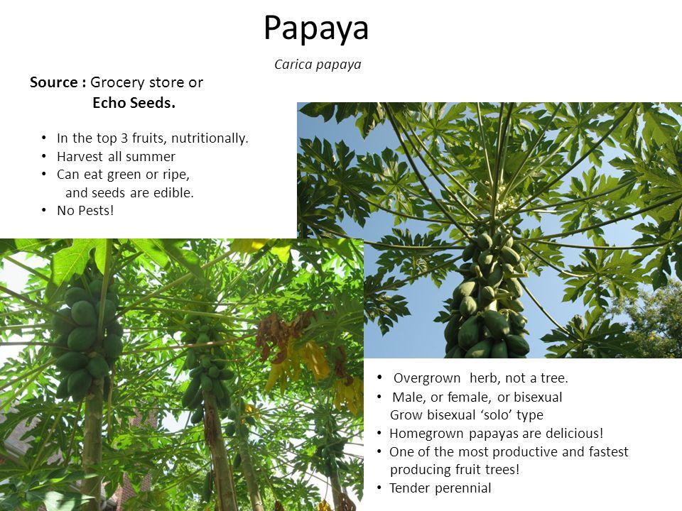 Papaya Overgrown herb, not a tree.