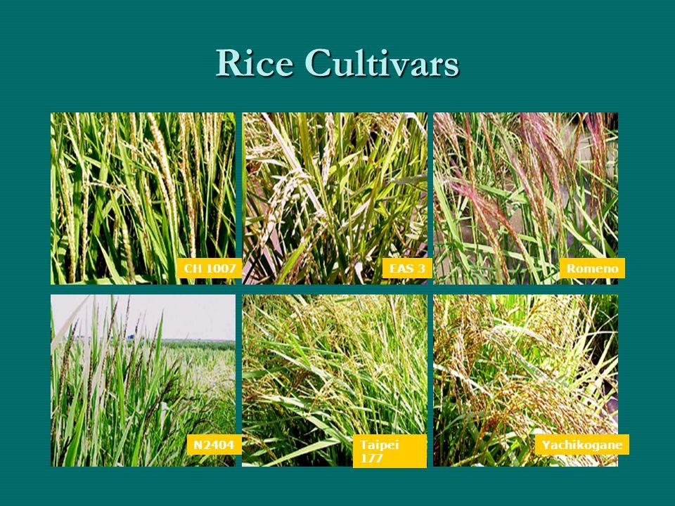Rice Cultivars CH 1007EAS 3Romeno N2404Taipei 177 Yachikogane