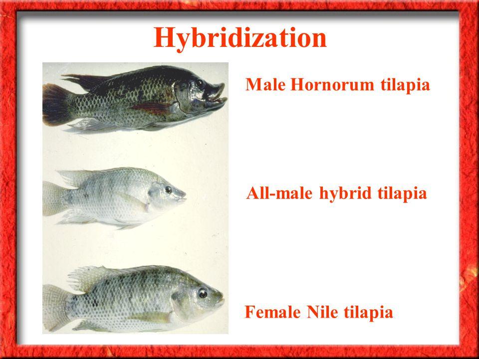 Hybridization Male Hornorum tilapia Female Nile tilapia All-male hybrid tilapia