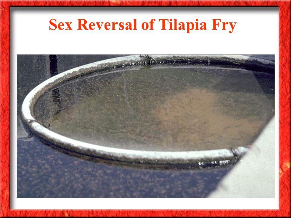 Sex Reversal of Tilapia Fry
