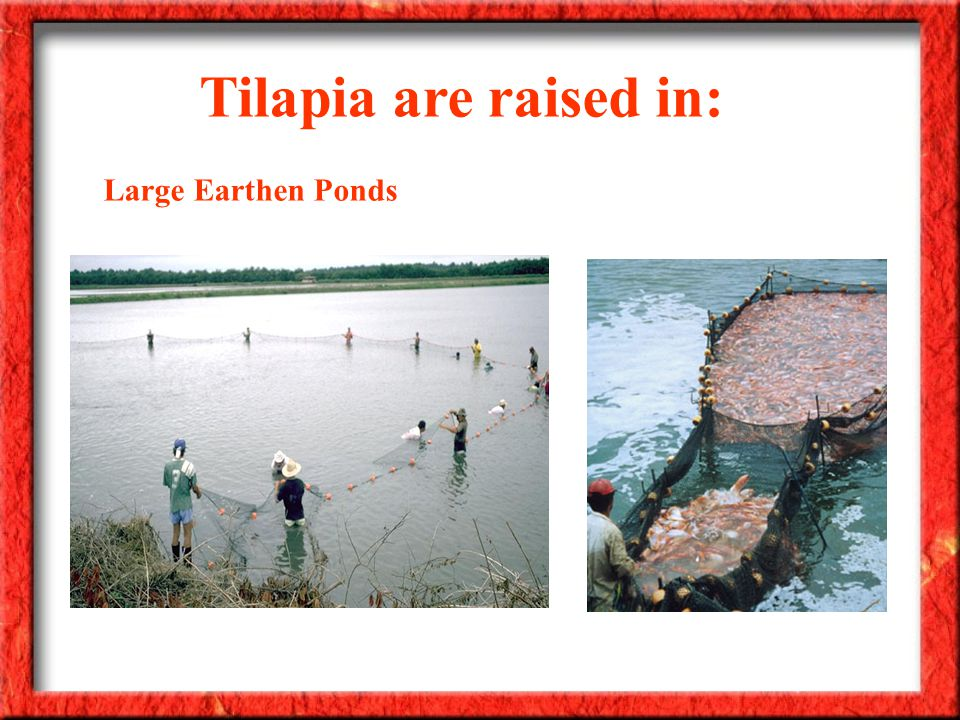 Tilapia are raised in: Large Earthen Ponds