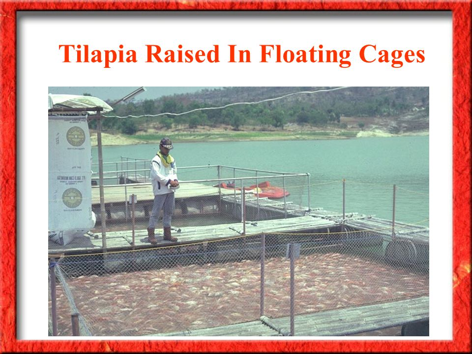 Tilapia Raised In Floating Cages