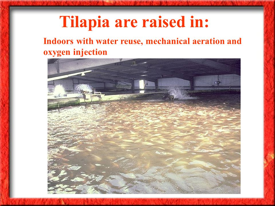 Tilapia are raised in: Indoors with water reuse, mechanical aeration and oxygen injection
