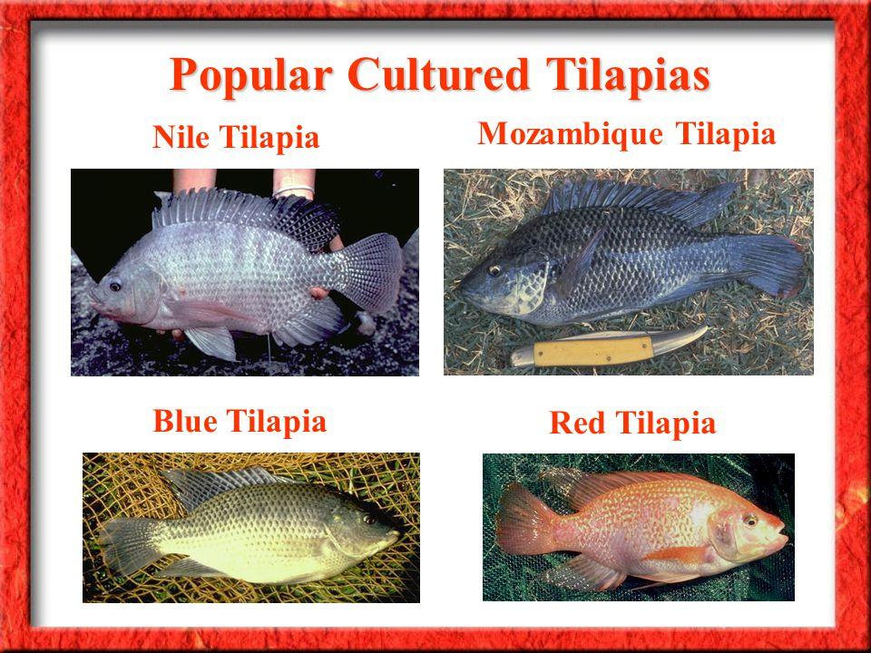 Nile Tilapia Mozambique Tilapia Blue Tilapia Red Tilapia Popular Cultured Tilapias
