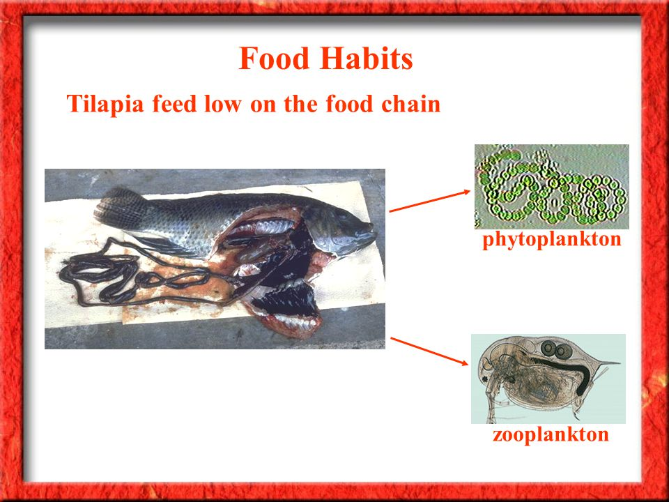 Food Habits Tilapia feed low on the food chain phytoplankton zooplankton