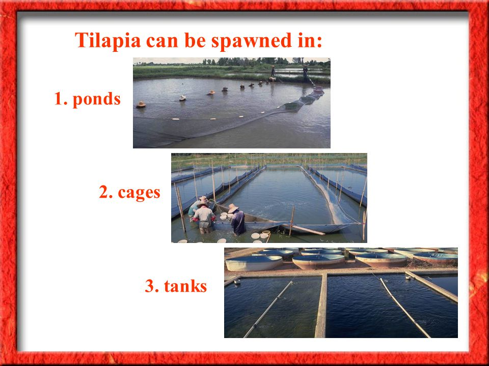 Tilapia can be spawned in: 1. ponds 2. cages 3. tanks