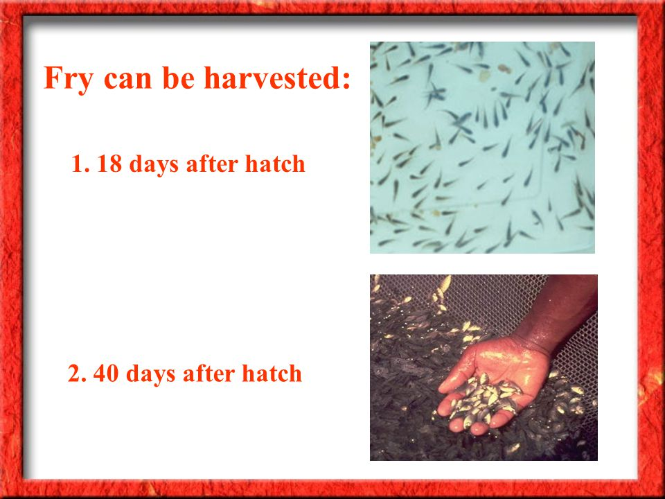 Fry can be harvested: 2. 40 days after hatch 1. 18 days after hatch