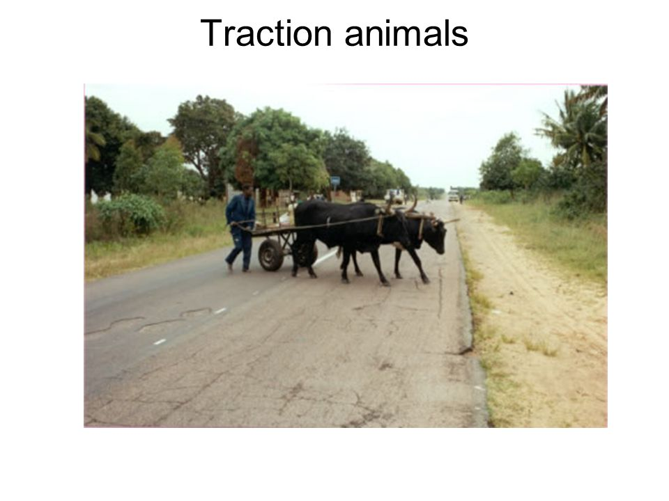 Traction animals