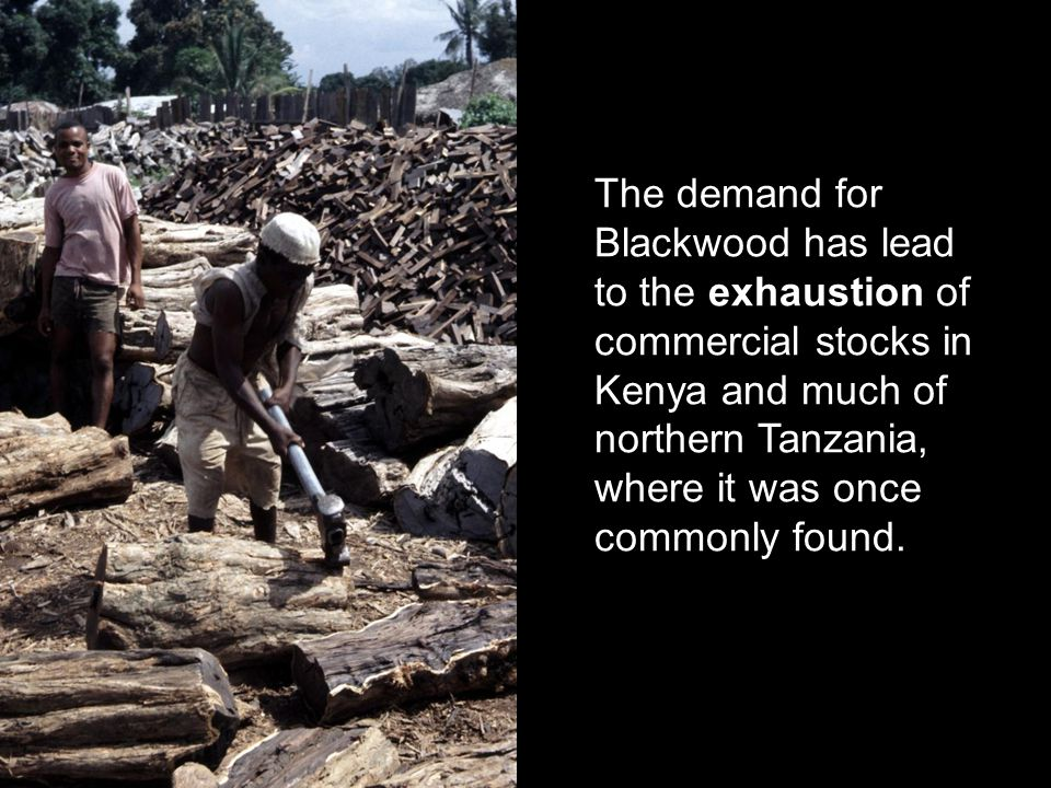 The demand for Blackwood has lead to the exhaustion of commercial stocks in Kenya and much of northern Tanzania, where it was once commonly found.