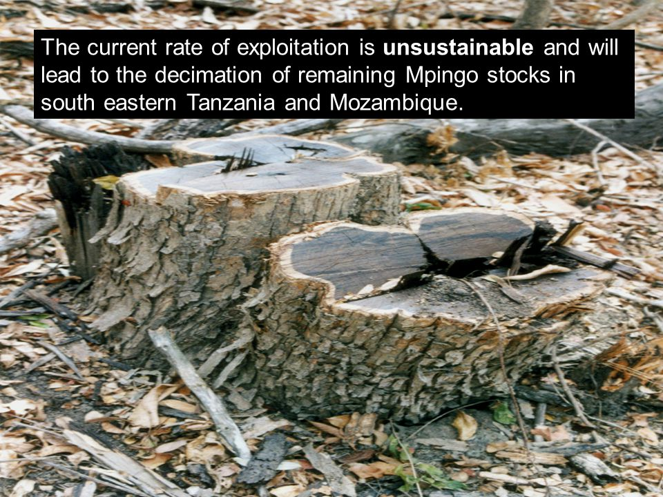 The current rate of exploitation is unsustainable and will lead to the decimation of remaining Mpingo stocks in south eastern Tanzania and Mozambique.