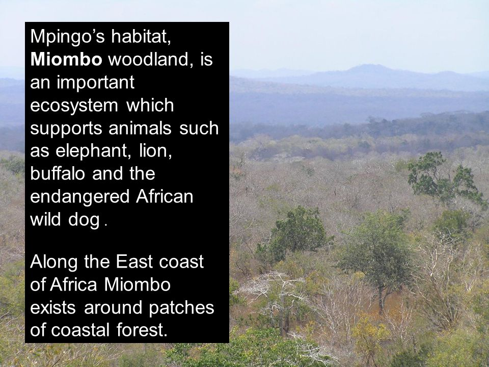 Mpingo's habitat, Miombo woodland, is an important ecosystem which supports animals such as elephant, lion, buffalo and the endangered African wild do