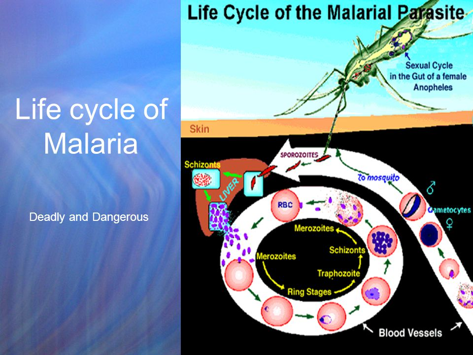 Life cycle of Malaria Deadly and Dangerous