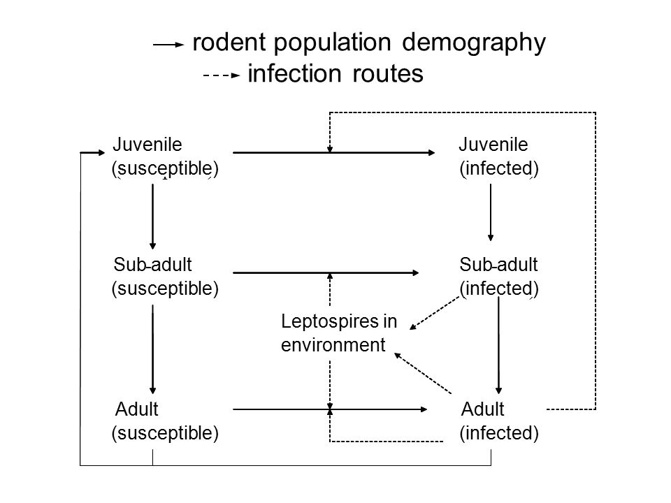 rodent population demography infection routes Juvenile (susceptible) Sub-adult (susceptible) Adult (susceptible) Juvenile (infected) Sub-adult (infected) Adult (infected) Leptospires in environment Juvenile (susceptible) Sub - adult (susceptible) Adult (susceptible) Juvenile (infected) Sub - adult (infected) Adult (infected) Leptospires in environment