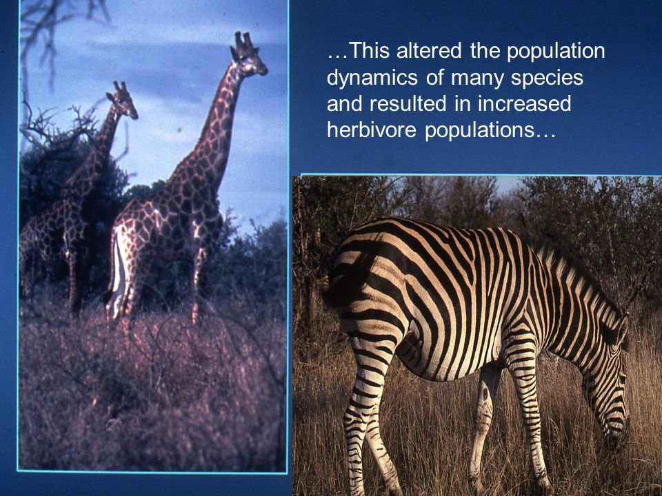 …This altered the population dynamics of many species and resulted in increased herbivore populations…