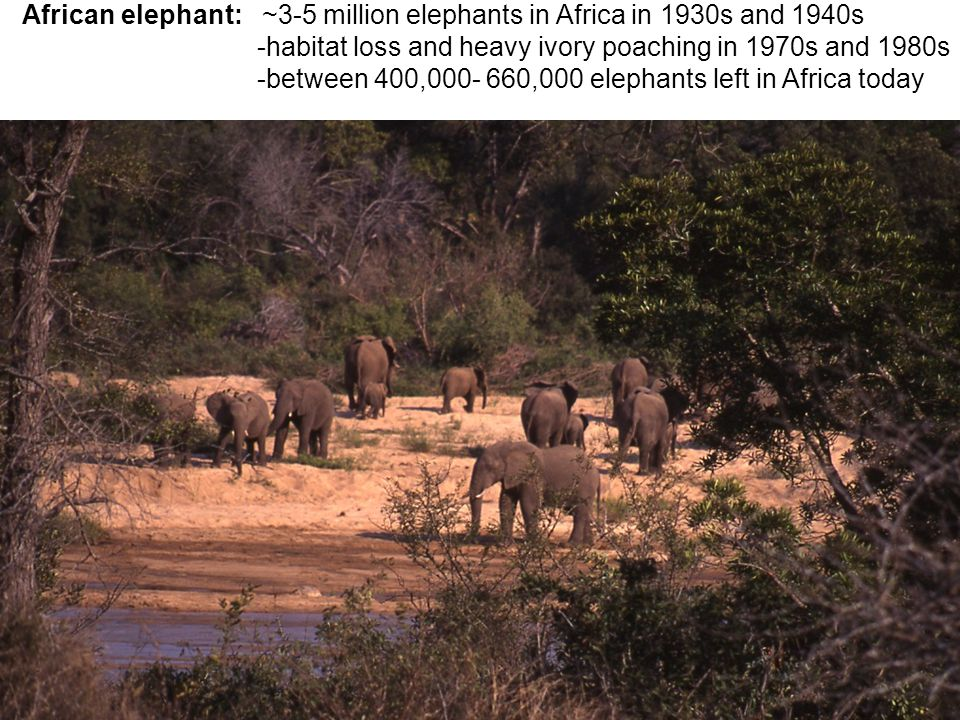 African elephant: ~3-5 million elephants in Africa in 1930s and 1940s -habitat loss and heavy ivory poaching in 1970s and 1980s -between 400,000- 660,000 elephants left in Africa today